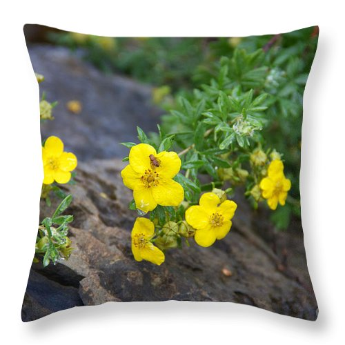 Yellow Flowering Bush Throw Pillow featuring the photograph Yellow Potentilla Shrub by June Hatleberg Photography