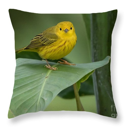 Arenal Throw Pillow featuring the photograph Yellow Warbler by George Cathcart