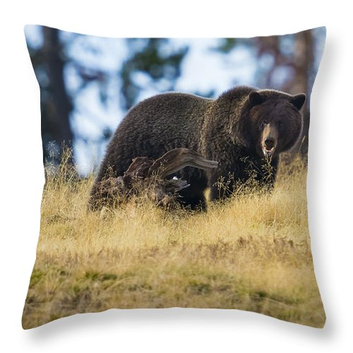 Grizzly Throw Pillow featuring the photograph Yellowstone Grizzly Showing Teeth by Greig Huggins