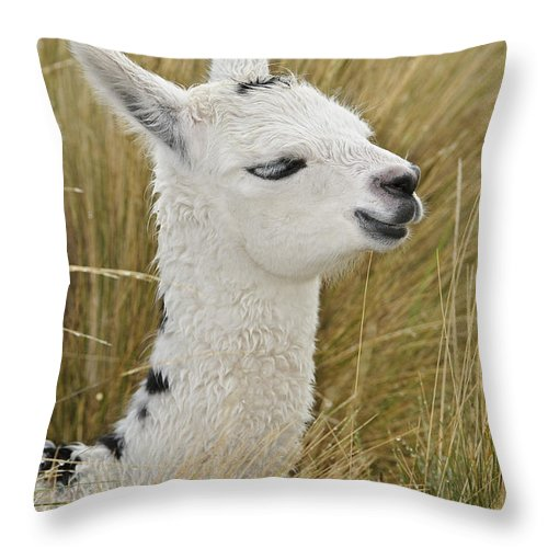 South America Fauna Throw Pillow featuring the photograph Young Alpaca by John Shaw