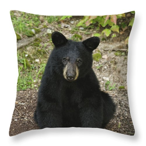 Black Bear Throw Pillow featuring the photograph Young Bear 1 by Lara Ellis