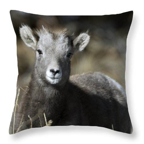 Young Bighorn Sheep Throw Pillow featuring the photograph Young Bighorn Sheep by Gary Langley