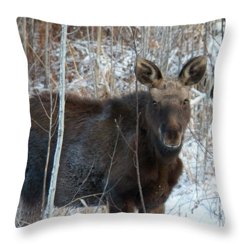 Young Moose Throw Pillow featuring the photograph Young Moose 3 by Joseph Marquis