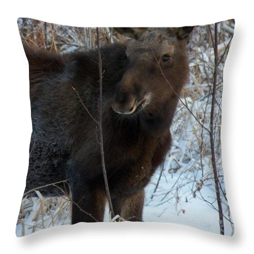 Young Moose Throw Pillow featuring the photograph Young Moose 4 by Joseph Marquis