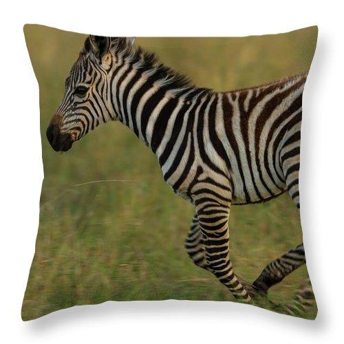 Plains Zebra Throw Pillow featuring the photograph Zebra Foal Running For Joy by Manoj Shah