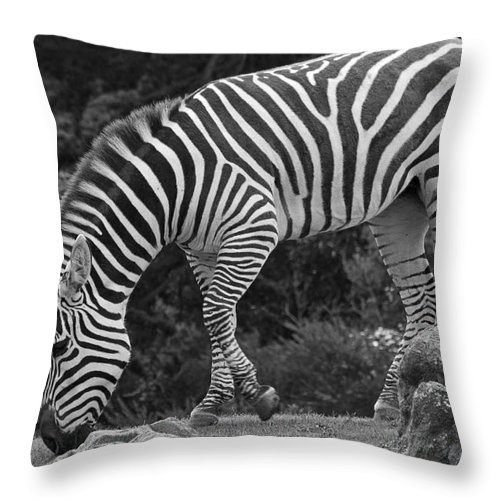 Kate Brown Throw Pillow featuring the photograph Zebra In Black And White by Kate Brown