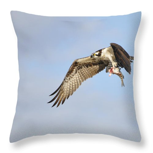 Osprey Throw Pillow featuring the photograph Osprey Lunch To Go I by Christine Stonebridge