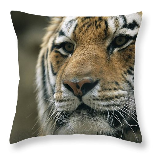 North America Throw Pillow featuring the photograph A Close View Of The Face Of Khuntami by Joel Sartore
