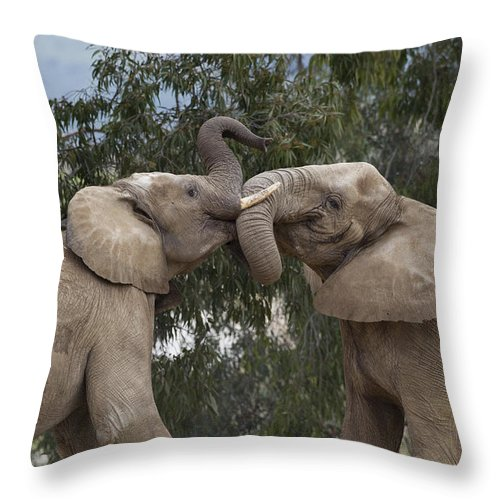 Mp Throw Pillow featuring the photograph African Elephant Loxodonta Africana by Zssd