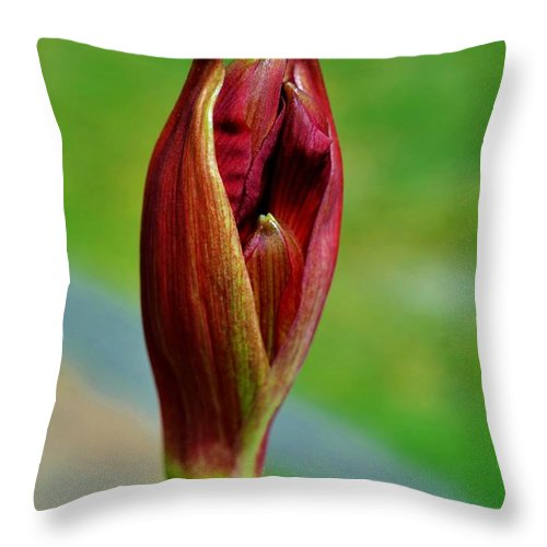 Flowering Bulbs; Amaryllis Flower Bud; Close Up; Floral; Flower; Garden; Spring; Red; Beautiful; Big; Blossom; Green; Stem; Background; Throw Pillow featuring the photograph Amaryllis Flower Bud by Werner Lehmann
