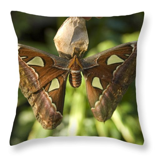 Photography Throw Pillow featuring the photograph An Atlas Moth Atlas Attacus At The St by Joel Sartore