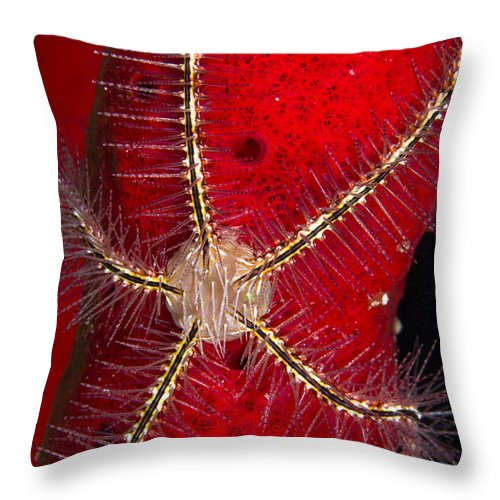 Echinoderm Throw Pillow featuring the photograph Brittle Star On Sponge, Belize by Todd Winner