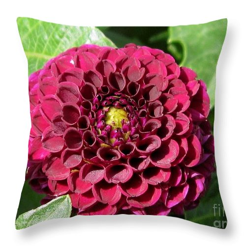 Dahlia Throw Pillow featuring the photograph Dahlia Named Pride Of Place by J McCombie