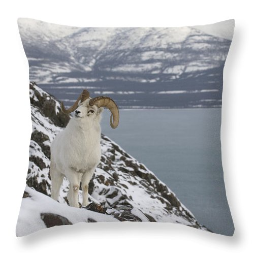Mp Throw Pillow featuring the photograph Dall Sheep Ovis Dalli Ram, Yukon by Michael Quinton