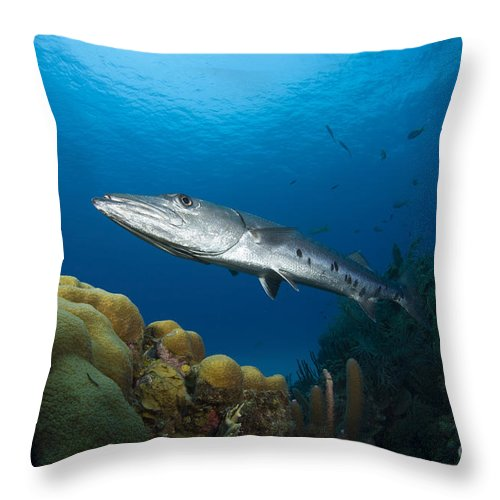 Barracuda Throw Pillow featuring the photograph Great Barracuda, Belize by Todd Winner