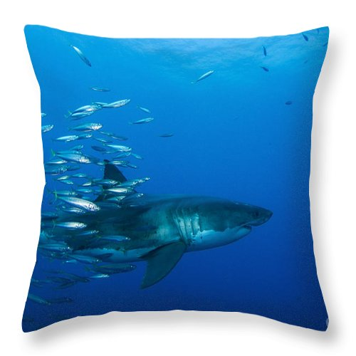 Carcharodon Carcharias Throw Pillow featuring the photograph Male Great White Shark And Bait Fish by Todd Winner