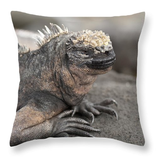 Animals In The Wild Throw Pillow featuring the photograph Marine Iguana Amblyrhynchus Cristatus by Keith Levit
