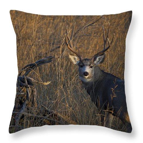 Big Mule Deer Throw Pillow featuring the photograph Mule Deer Buck by Tim Bjerk