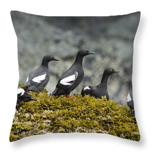 Mp Throw Pillow featuring the photograph Pigeon Guillemot Cepphus Columba Group by Konrad Wothe