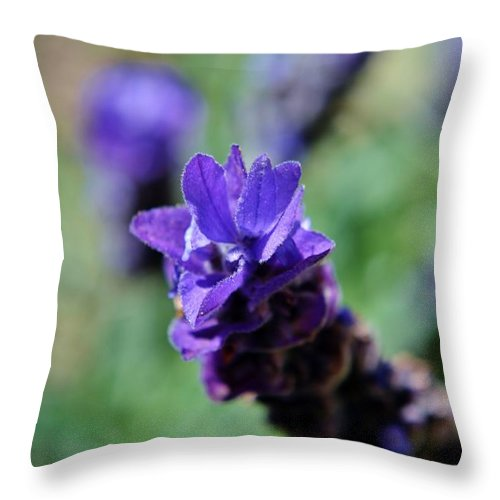 Close Up; Blooming; Lavender; Purpel; Green; Background; Decorative; Flower; Mint; Lavandula; Garden; Herb; Honey; Tea; Medical; Oil; Nature; Throw Pillow featuring the photograph Purpel Lavender by Werner Lehmann