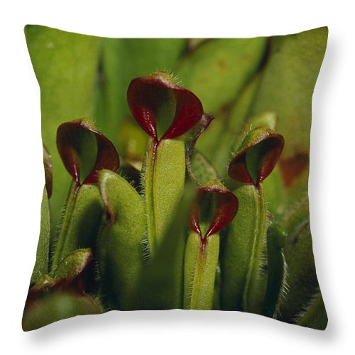 Sun Pitcher Throw Pillow featuring the photograph The Rare Carnivorous Sun Pitcher Plant by Jason Edwards