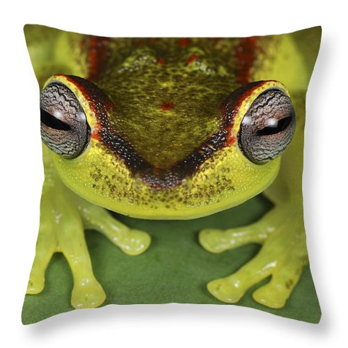 Mp Throw Pillow featuring the photograph Tree Frog Hyla Rubracyla At Night by Thomas Marent