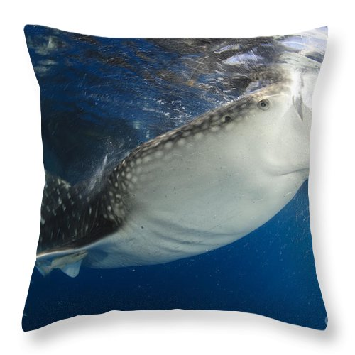 Day Throw Pillow featuring the photograph Whale Shark Feeding Under Fishing by Steve Jones