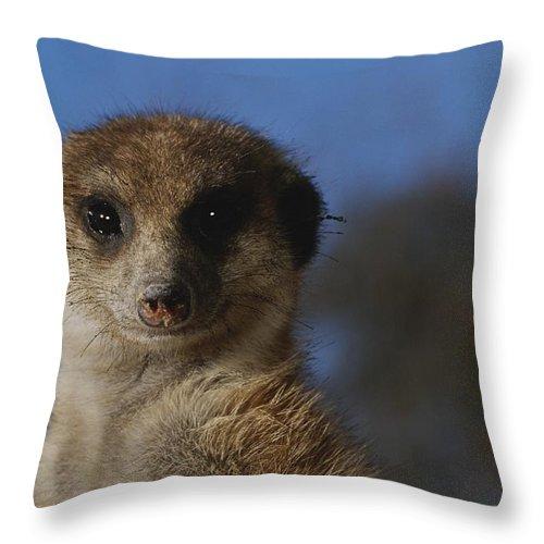 Animals Throw Pillow featuring the photograph A Close View Of A Meerkat Suricata by Mattias Klum