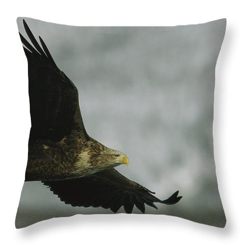 Asia Throw Pillow featuring the photograph An Endangered White-tailed Sea Eagle by Tim Laman