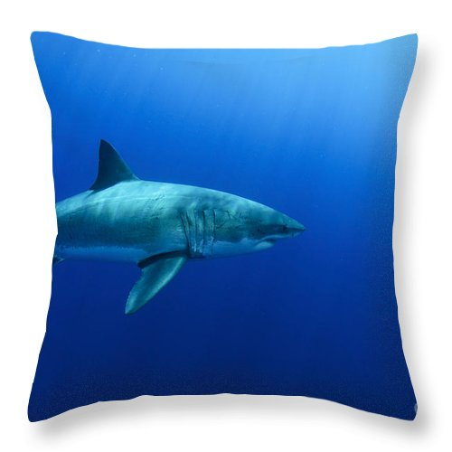 Carcharodon Carcharias Throw Pillow featuring the photograph Female Great White Shark, Guadalupe by Todd Winner