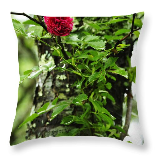 Grootendorst Supreme 1918 Throw Pillow featuring the photograph Rogue Rose by Thomas R Fletcher