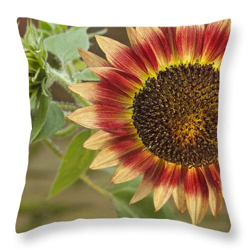 Agriculture Throw Pillow featuring the photograph Sunflower by Jack R Perry