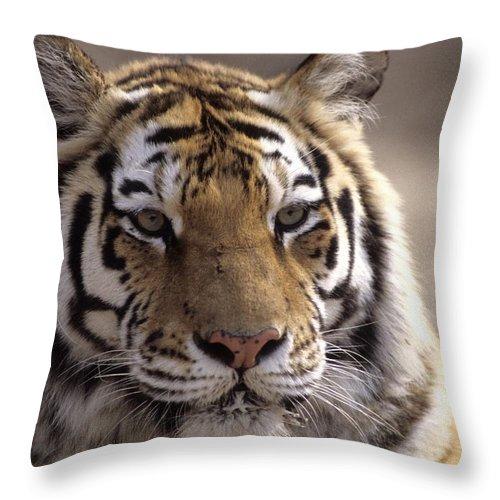 Outdoors Throw Pillow featuring the photograph Tiger, Qinhuangdao Zoo, Hebei Province by Raymond Gehman