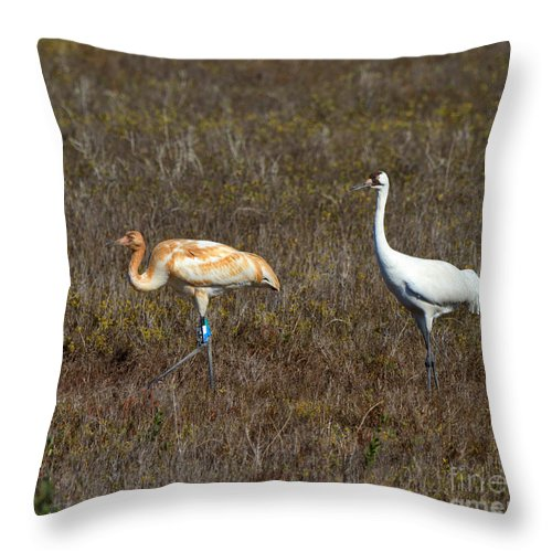 Whooping Crane Throw Pillow featuring the photograph Whooping Cranes by Louise Heusinkveld