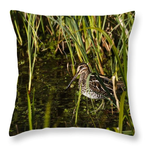 Alaska Throw Pillow featuring the photograph Wilsons Snipe by Doug Lloyd