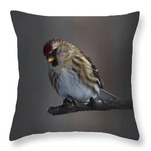 Doug Lloyd Throw Pillow featuring the photograph Common Redpoll by Doug Lloyd