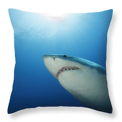 Carcharodon Carcharias Throw Pillow featuring the photograph Male Great White Shark, Guadalupe by Todd Winner
