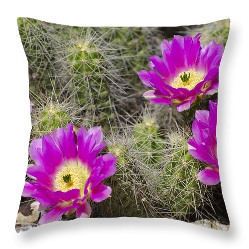 Cactus Throw Pillow featuring the photograph Pink Cactus Flowers by Jim And Emily Bush