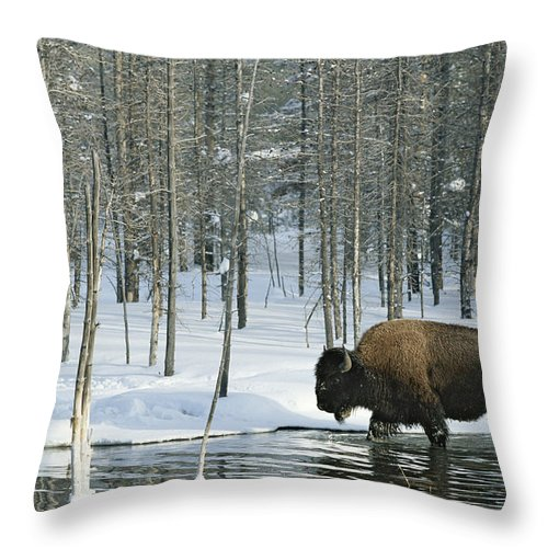Animals Throw Pillow featuring the photograph A Bison Stands In A Cold Stream by Norbert Rosing