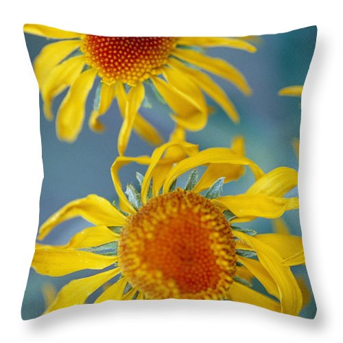 North America Throw Pillow featuring the photograph A Close View Of Two Daisies by Raul Touzon