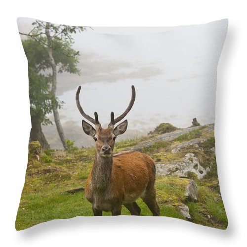 Antlers Throw Pillow featuring the photograph A Deer Stands In A Foggy Meadow By The by John Short
