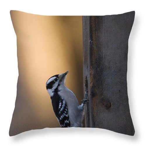 Lincoln Throw Pillow featuring the photograph A Downy Woodpecker, Picoides Pubescens by Joel Sartore
