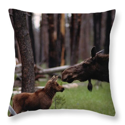 juvenile Mammals Throw Pillow featuring the photograph A Female Moose Nuzzles Her Young by Randy Olson