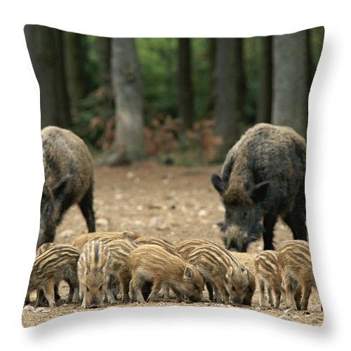 Animal Behavior Throw Pillow featuring the photograph A Group Of Young Wild Boars Nose by Norbert Rosing