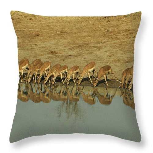 Impalas Throw Pillow featuring the photograph A Herd Of Impala Drinking At A Watering by Jason Edwards