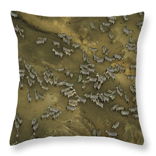 Aerial Views;landscapes;plains Zebras;equus Burchelli;animal Coexistence;wild Animals;groups Of Animals;masai Mara National Reserve;eating And Drinking (by Animals);foraging (by Animals);mara River (kenya); Throw Pillow featuring the photograph A Herd Of Zebras In The Mara River by Bobby Haas