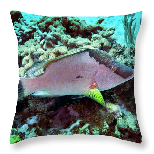 Fish Throw Pillow featuring the photograph A Hogfish Swimming Above A Coral Reef by Michael Wood