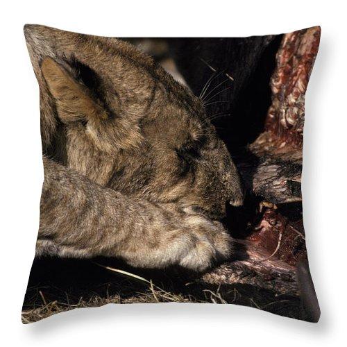 Masai Mara National Park Throw Pillow featuring the photograph A Lion Feeding On The Carcass Of A Cape by Jason Edwards