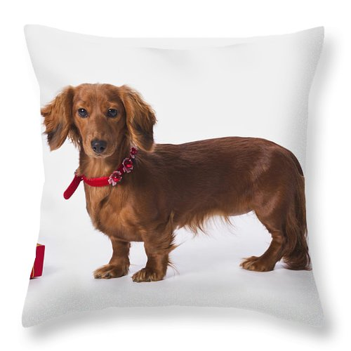 Box Throw Pillow featuring the photograph A Longhair Red Dachshund With A Small by Corey Hochachka