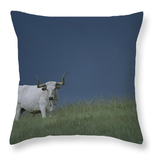 North America Throw Pillow featuring the photograph A Longhorn Steer, One Member Of A Small by Michael Melford